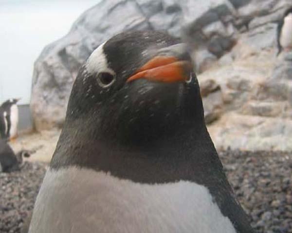 まねはしないでペンギンさん