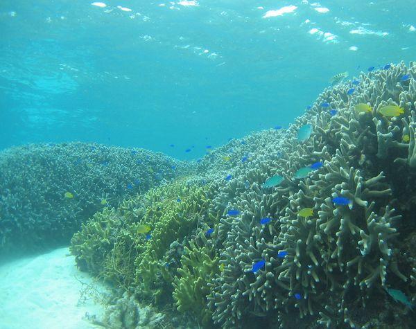 どこまでも続くサンゴ群落