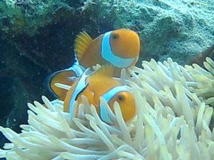 クマノミ編。石垣島東海岸、シュノーケルツアーで見れる魚たち♪