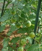 トマト、実がいっぱいです