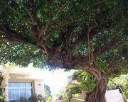 ご近所さんの立派の木