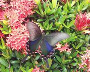 きれいな蝶々です。石垣島はバンナ公園にて