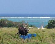 海のほとりに牛