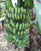 島バナナ収穫時期