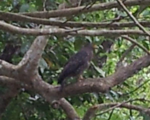 カンムリワシが木に止まってる!