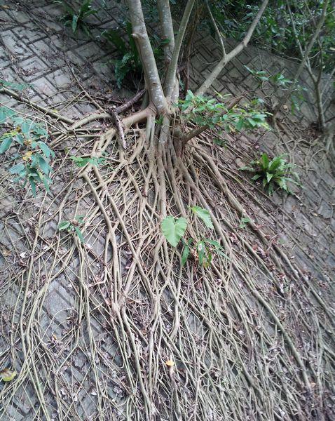 コンクリの壁をつたう植物の根