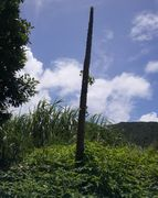 すっぽんぽんのパパイアの木