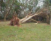 巨木が倒されています。