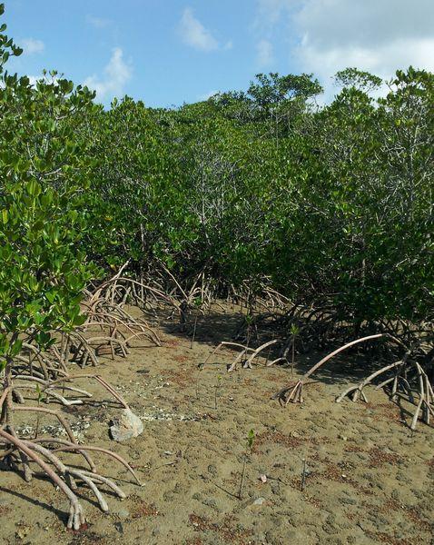 マングローブ林を突き進むカヌーツアー