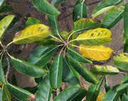 マングローブの葉