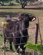 食いしん坊の牛