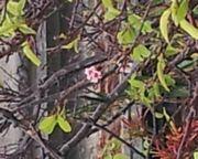 桜が一輪開花