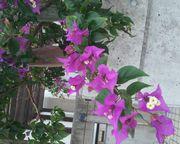 紫色のブーゲンビリア