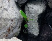 岩の隙間から木がすくすく成長