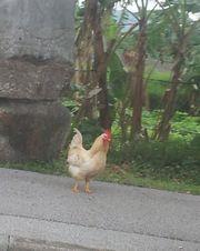 石垣空港をでてすぐの歩道を鶏が歩いてました