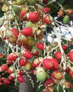ヤシの実。熟すと赤色です