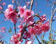 ヒカンサクラ。開花しました