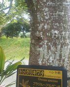 トックリキワタという名前らしいです。とげとげのついた植物です。
