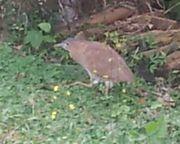 変な鳥が庭を歩いています。