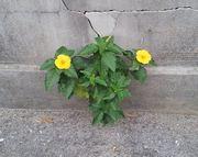 コンクリートの隙間から黄色の花が咲いています。