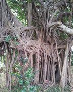 市役所のガジュマルの木
