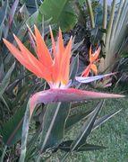 ゴクラクチョウの花。きれいです。
