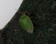緑色のスポンジにカメムシ