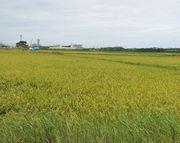 一回目のお米の収穫がはじまりそうです。