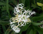 ハマユウというお花。きれいです。