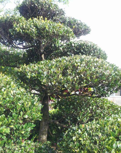 沖縄の民謡楽器にの素材になる木