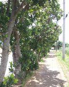 リュウキュウテリハボクの木
