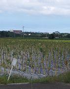 タバコの葉の収穫