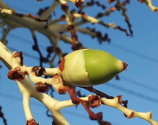 ヤシの木の実はどんぐりみたいです