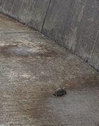 石ころとセマルハコガメ。ドライブ中は見分けが付きにくいです