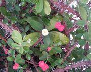 一つだけ違う色の花が咲いています。