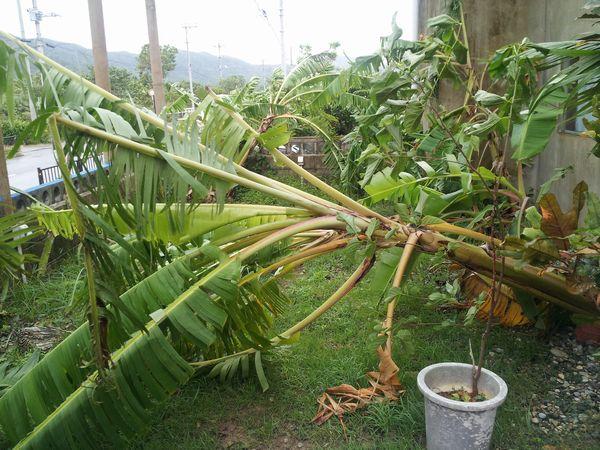 事務所前のバナナの木がなぎ倒されています。