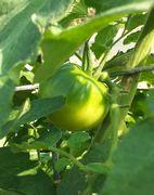 トマトが実を付け始めています。