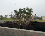 牛が大集合しています。