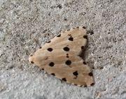 水玉模様の柄の蛾