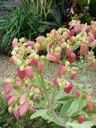 伊野田集落の歩道には、面白い植物が咲いています。