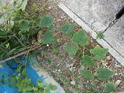 事務所前にかぼちゃっぽい植物が成長中