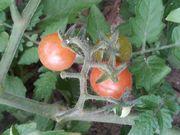 歩道脇に自生しているトマト