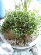 盆栽。すくすく成長しています。