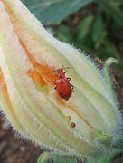かぼちゃの花を虫が食べています