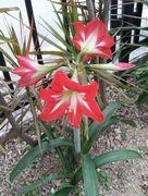 事務所前の花壇にユリが咲いています。
