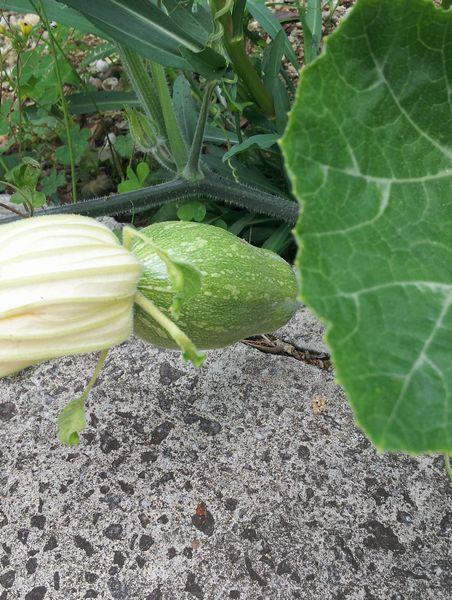 事務所前、かってに生えてきたかぼちゃ。また収穫できそうです。
