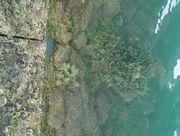 浅くなったとき見えるサンゴ