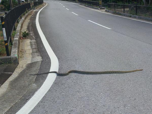 道路を横断!3m級のヘビ