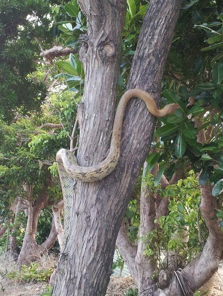 サキジマスジオが木に登ってる!