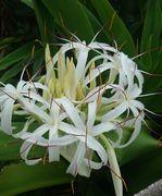 ハマユウのお花